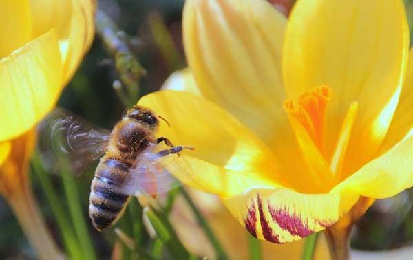Frühblüher mit gelben Blühten locken Hummeln, Bienen und Insekten an