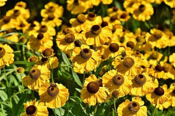Der Sonnenhut lässt den Garten in Gelb zum Spätsommer erstrahlen