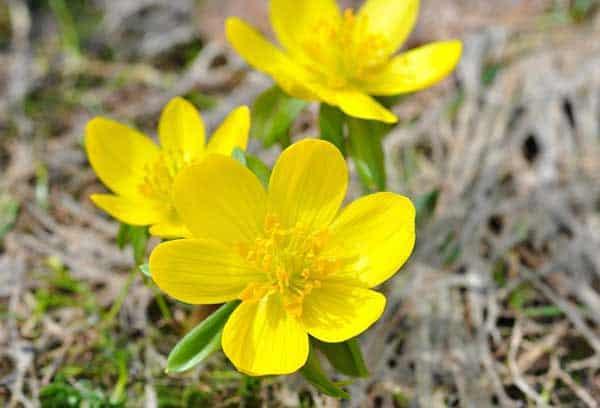Winterlinge läuten mit ihren gelben Blüten den Fröhling ein