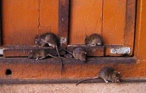 Nicht erschrecken - das ist nur ein Foto - lassen Sie es gar nicht erst zu einem Rattenbefall kommen