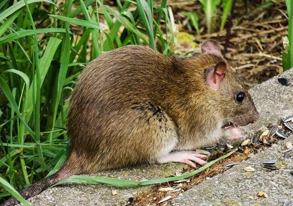 Ratten im Garten besser im Vorfeld vermeiden als später bekämpfen zu müssen