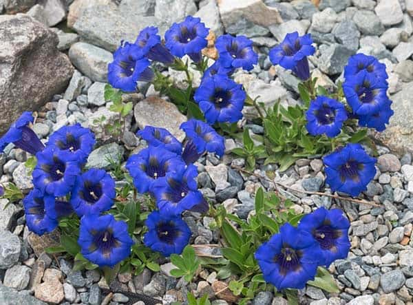 Der Enzian ist eine besonders gut geeignete Pflanze für den Steingarten