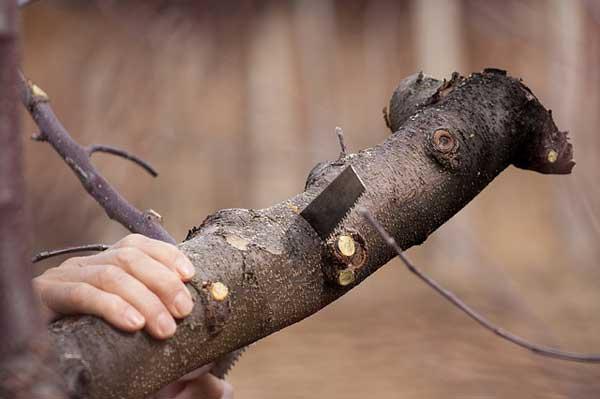 Bäume richtig schneiden - Wir zeigen wie es geht
