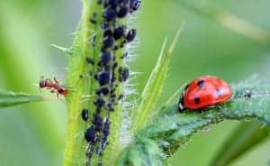 Blattläuse bekämpfen - das funktioniert auch mit Hausmitteln ohne Chemie