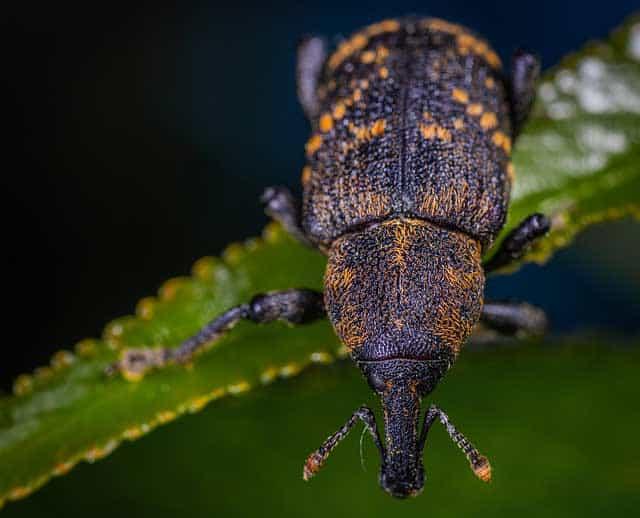 Den Dickmaulrüssler als Rüsselkäfer bekämpfen